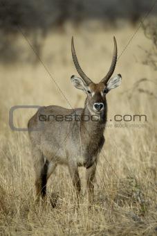 Waterbuck standing in grassland