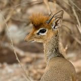 Close-up of a dik dik