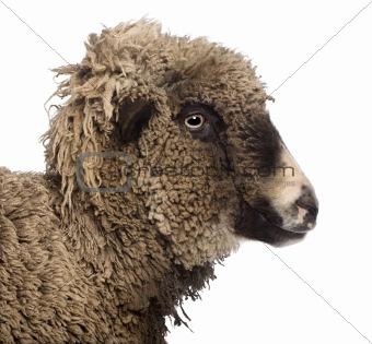 Crossbreed sheep