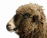 Crossbreed sheep