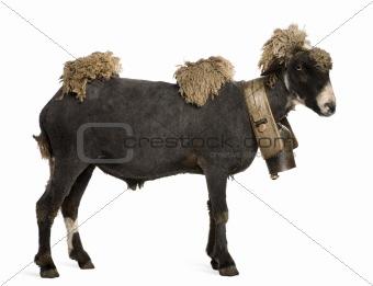 Crossbreed sheep wearing bell