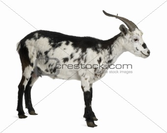 Female Rove goat