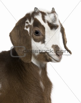 Close-up headshot Rove goat kid