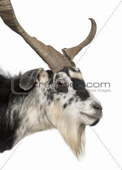 Close-up headshot of Rove goat