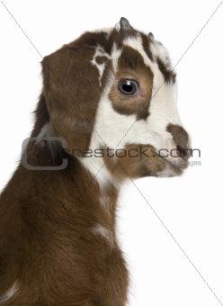 Close-up headshot Rove goat kid