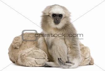 Portrait of young Pileated Gibbon