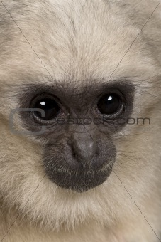 Close-up headshot of young Pileated Gibbon