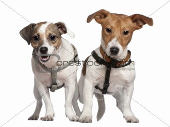 Portrait of two Jack Russell terriers