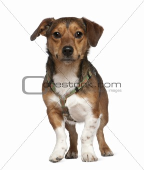 Portrait of crossbreed dog