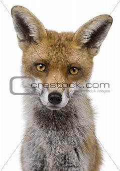 Close-up headshot of Red Fox