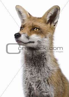 Close-up headshot of Red Fox