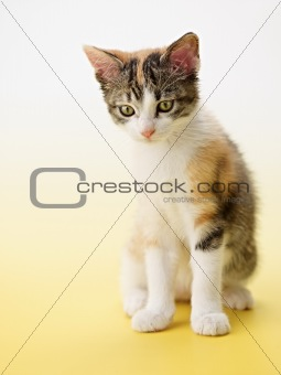 cat on yellow background