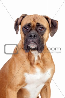 Boxer breed dog