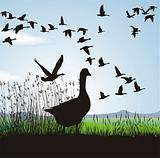Geese before migrating