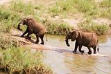 Two African elephants wading through a river