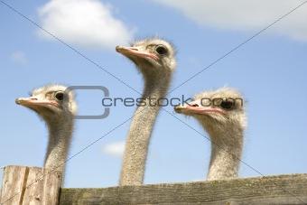 Three ostriches