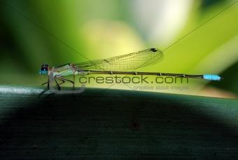 Green blue dragonfly in Rio de Janeiro Botanical Garden RJ