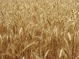 wheat field fragment