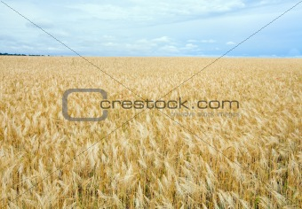 Beautiful summer wheat field.