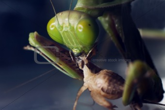 A macro shot of a Praying Mantis eating a cricket