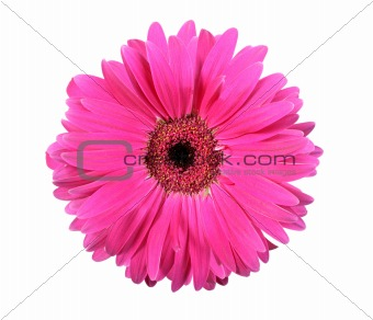 One pink flower isolated on white background