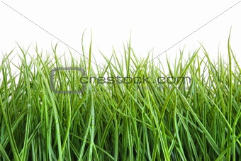 Tall wet grass against a white