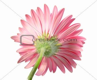 Back-side of pink flower