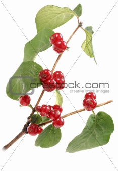 Branch with green leaf and red berryes