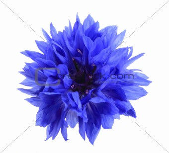 One blue flower