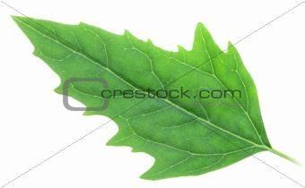One green leaf