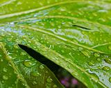 rain drops on large leaf plant
