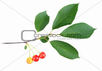 Branch with green leaf and cherrys