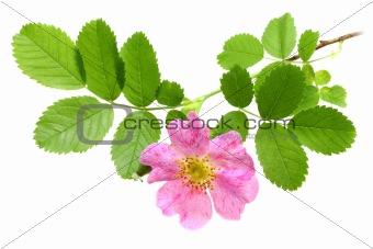 Branch of dog-rose
