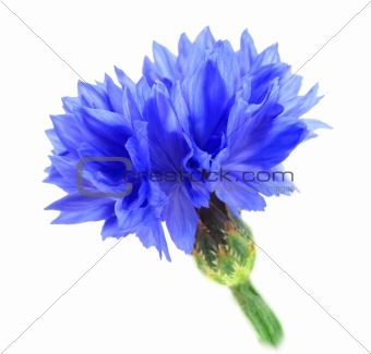 One blue flower
