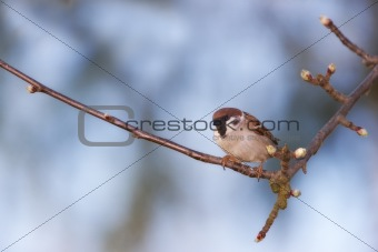 A telephoto of a garden sparrow sitting in a tree in early springtime.