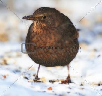 Blackbird in wintertime and sunshine
