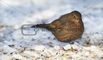 Blackbird in wintertime and sunshine