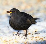 Male Blackbird  in wintertime in the garden