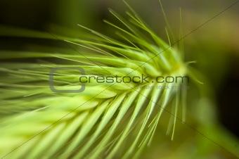 Green spring grain