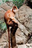 Ebony Langur monkey