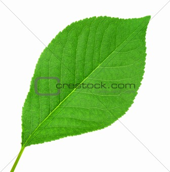 One green leaf of cherry-tree