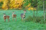 Whitetail Deer Doe With Fawns