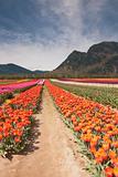 Tulip Festival - Agasiz - British Columbia