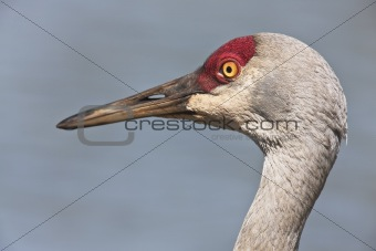 Sandhil Crane - Close up