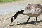 Canada Goose- Branta canadensis