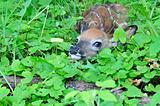 Newborn Whitetail Deer Fawn