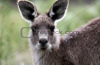 Australian Grey Kangaroo