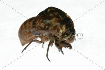 cicada eclosion