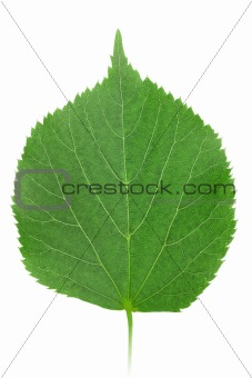 One green leaf of linden-tree