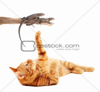 Cat playing with lizards